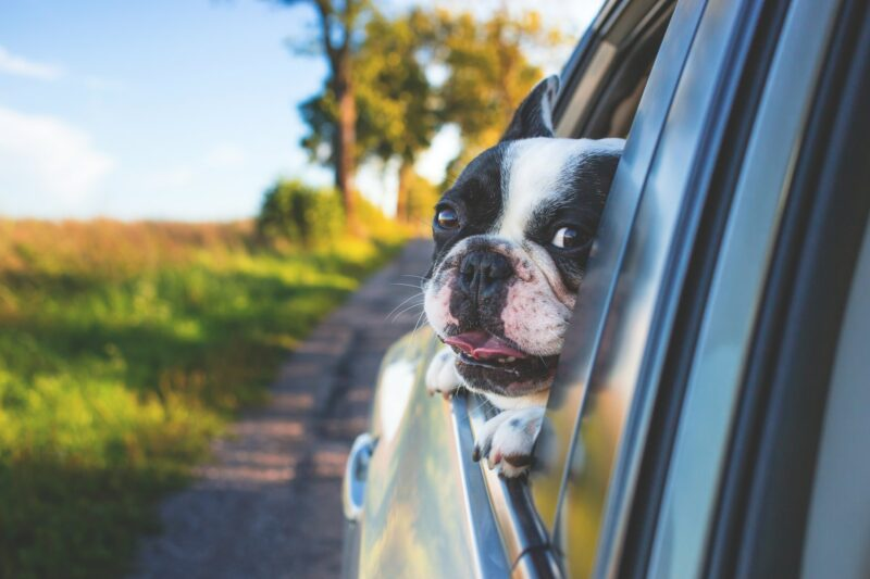 Frenchie travelling in car